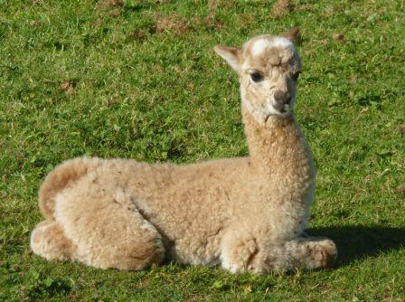 A new baby alpaca